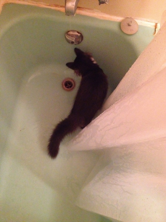 Inspecting the bathtub after a shower. His daily routine. Sometimes he comes in the shower with me. It's weird.