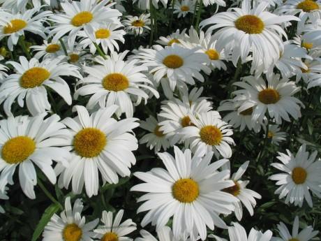 daisies-1479802-1600x1200